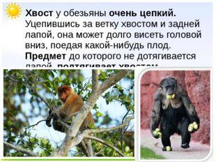 Хвост у обезьяны очень цепкий. Уцепившись за ветку хвостом и задней лапой, о