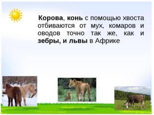 Корова, конь с помощью хвоста отбиваются от мух, комаров и оводов точно так