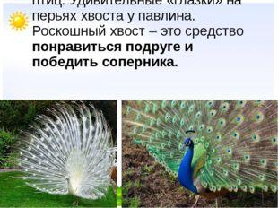Самые красивые хвосты всё же у птиц. Удивительные «глазки» на перьях хвоста