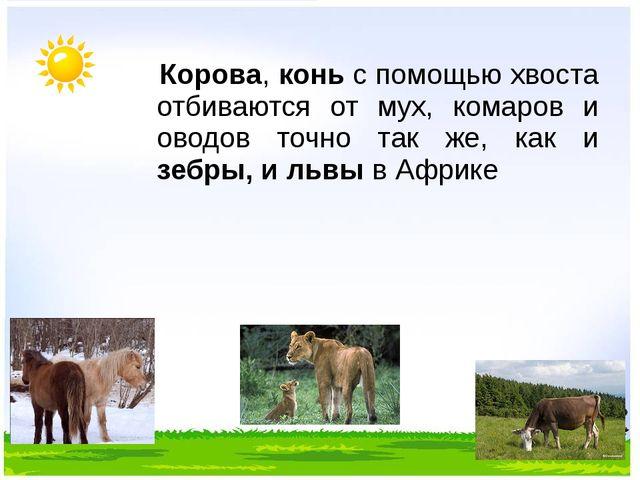 Корова, конь с помощью хвоста отбиваются от мух, комаров и оводов точно так...