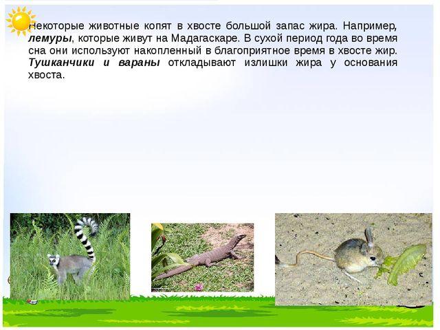Некоторые животные копят в хвосте большой запас жира. Например, лемуры, кото...