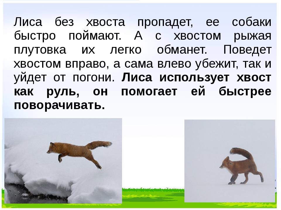 Лиса без хвоста пропадет, ее собаки быстро поймают. А с хвостом рыжая плутовк...