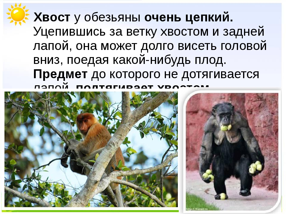 Хвост у обезьяны очень цепкий. Уцепившись за ветку хвостом и задней лапой, о...