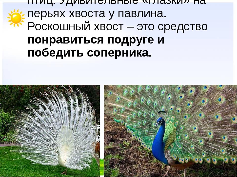 Самые красивые хвосты всё же у птиц. Удивительные «глазки» на перьях хвоста...