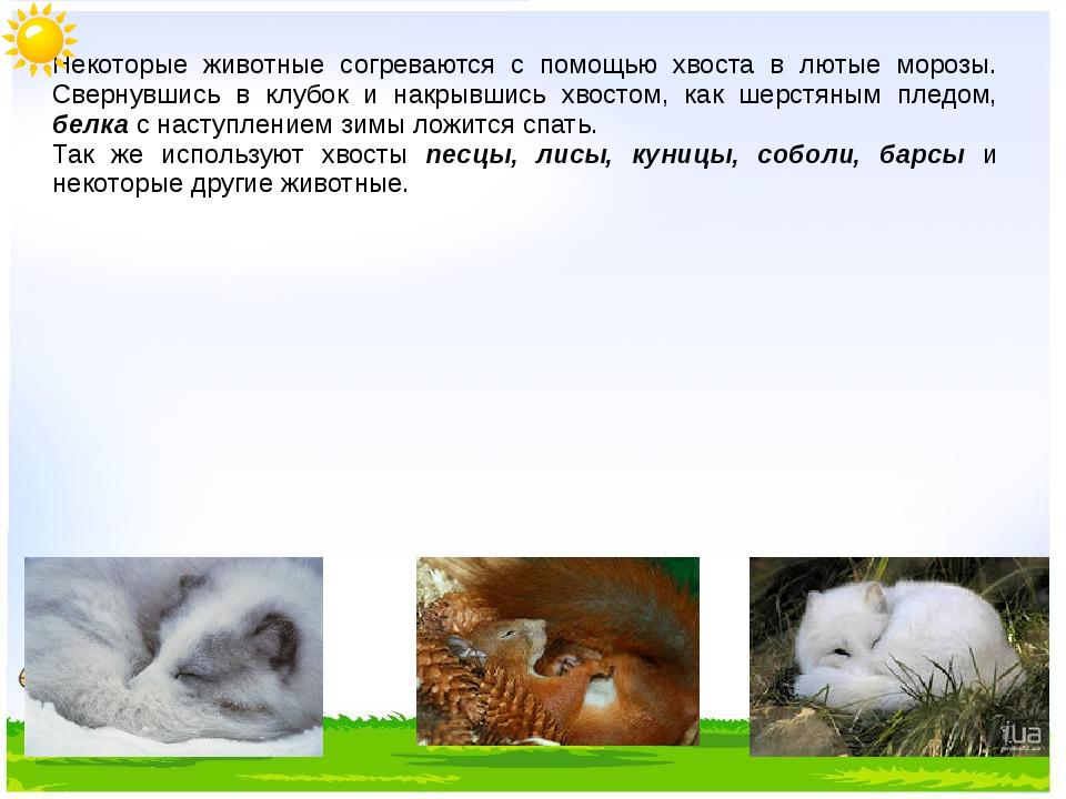 Некоторые животные согреваются с помощью хвоста в лютые морозы. Свернувшись...