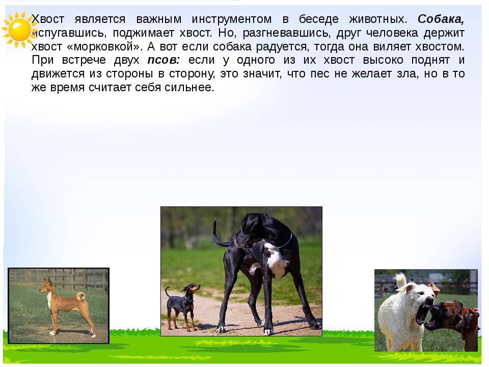Хвост является важным инструментом в беседе животных. Собака, испугавшись, п...