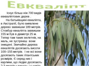 Існує більш ніж 700 видів евкваліптових дерев . На батьківщині евкаліпта, в