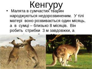 Кенгуру Малята в сумчастих тварин народжуються недорозвиненим. У тілі матері