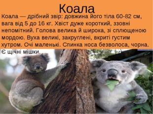 Коала Коала — дрібний звір: довжина його тіла 60-82 см, вага від 5 до 16 кг.