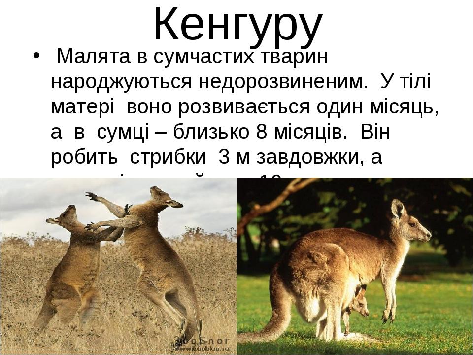 Кенгуру Малята в сумчастих тварин народжуються недорозвиненим. У тілі матері...