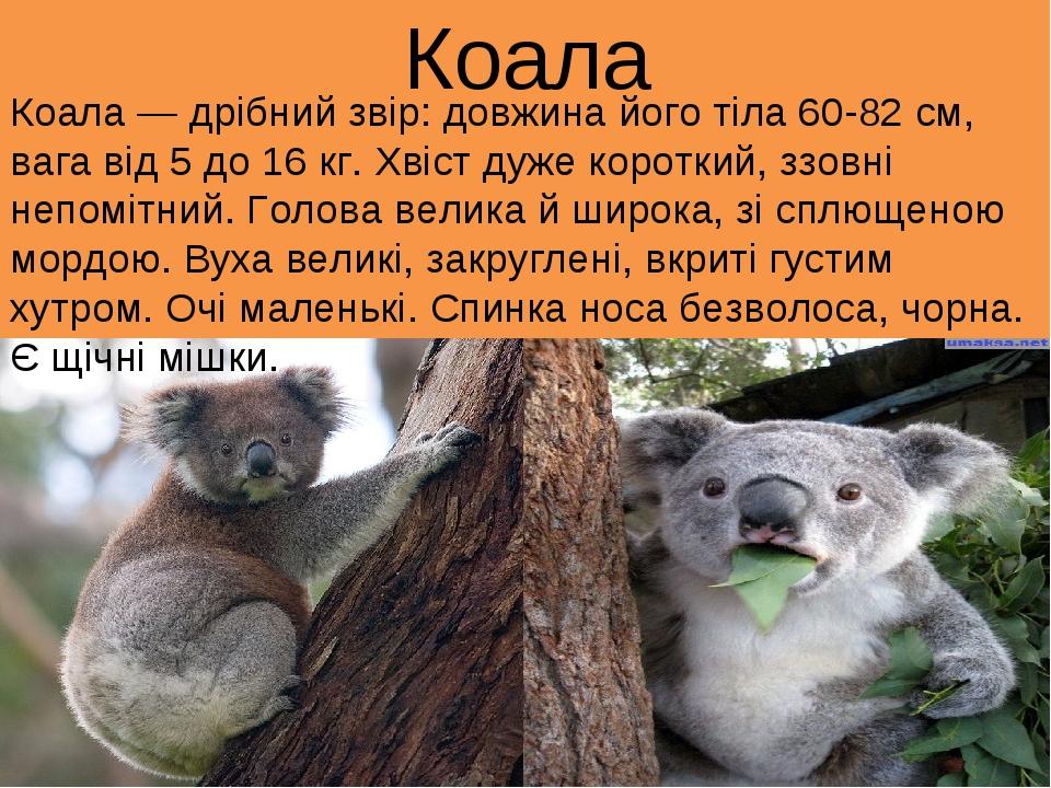 Коала Коала — дрібний звір: довжина його тіла 60-82 см, вага від 5 до 16 кг....