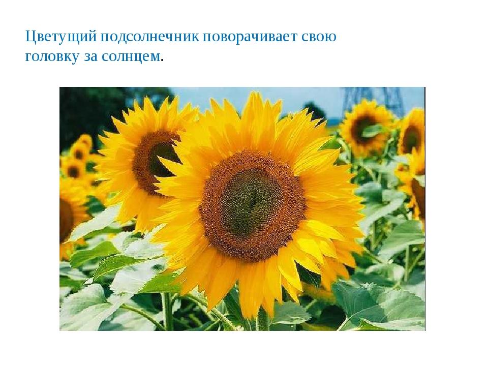 Цветущий подсолнечник поворачивает свою головку за солнцем.