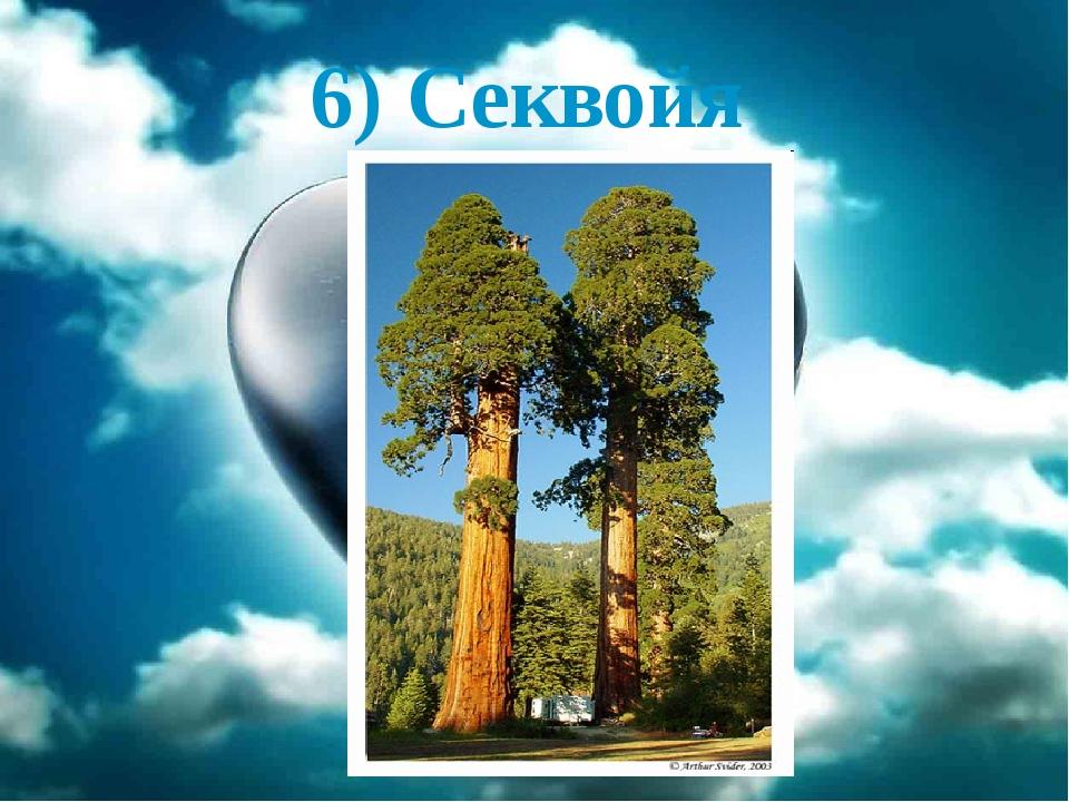 6) Секвойя