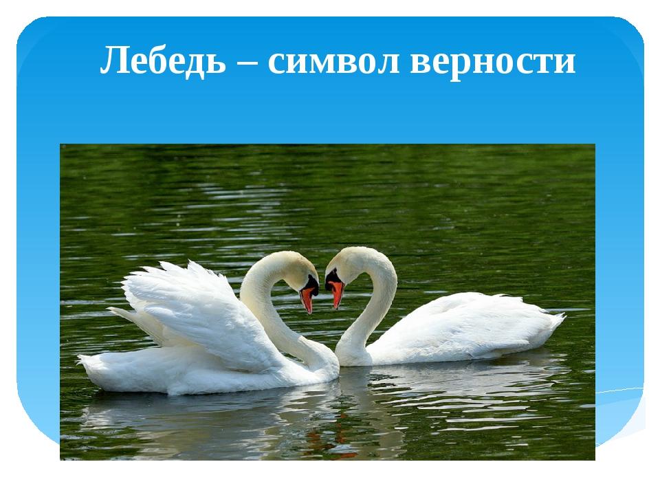 Лебедь – символ верности