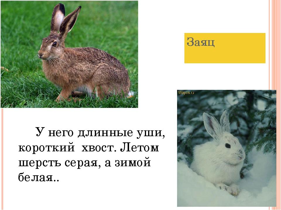 Заяц У него длинные уши, короткий хвост. Летом шерсть серая, а зимой белая..