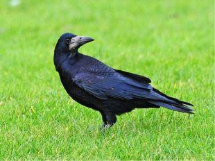 Вопрос для команды «Дрозды» Какие птицы прилетают к нам первыми весной? Грачи