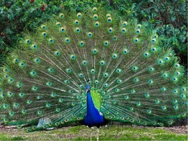 Вопрос для команды «Дятлы» О какой птице говорят: «Красота ангела, голос дьяв...