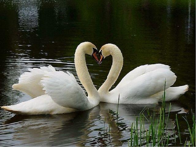 Вопрос для команды «Дятлы» Какая птица является символом красоты, чистоты и н...