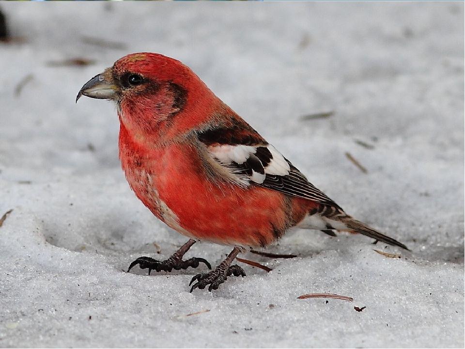 Вопрос для команды «Дрозды» Какие птицы выводят птенцов зимой? Клесты