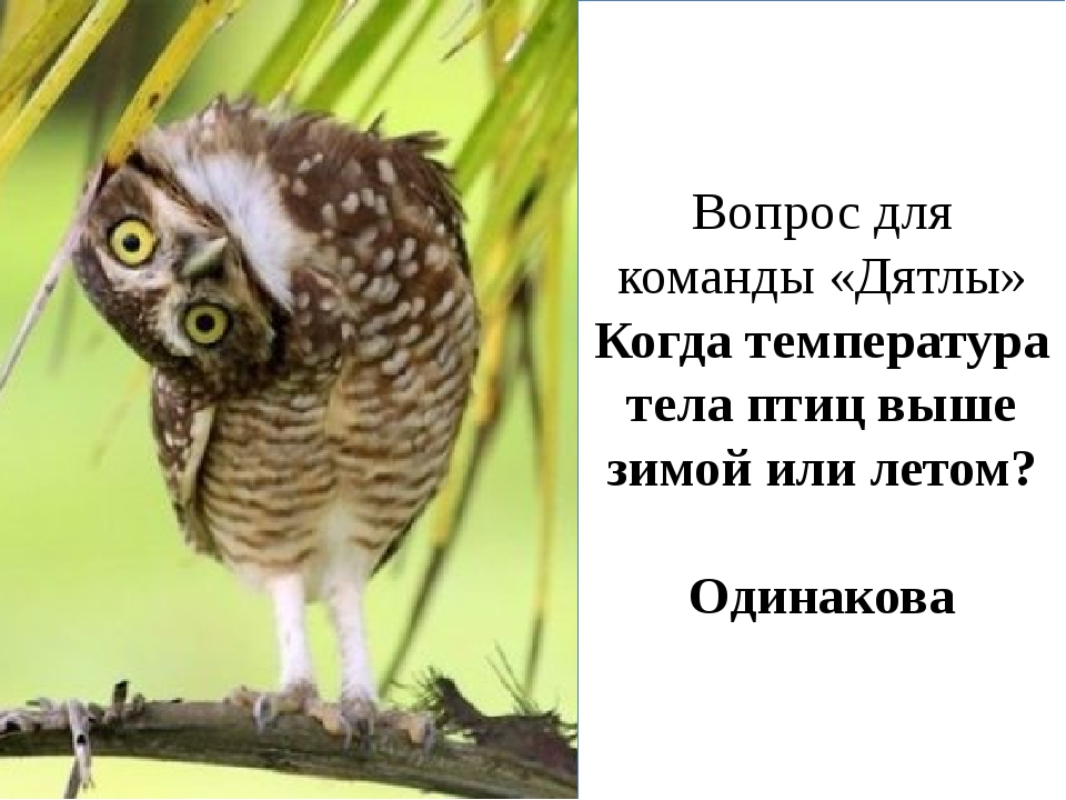 Вопрос для команды «Дятлы» Когда температура тела птиц выше зимой или летом?...