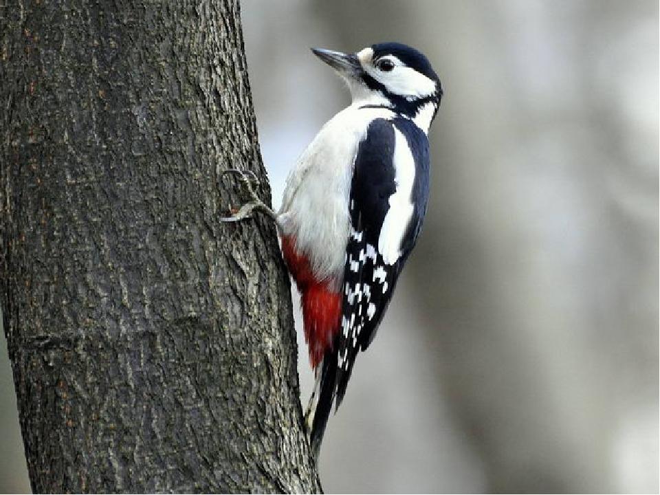 Вопрос для команды «Дрозды» У какой птицы самый длинный язык? У дятла – 15 см