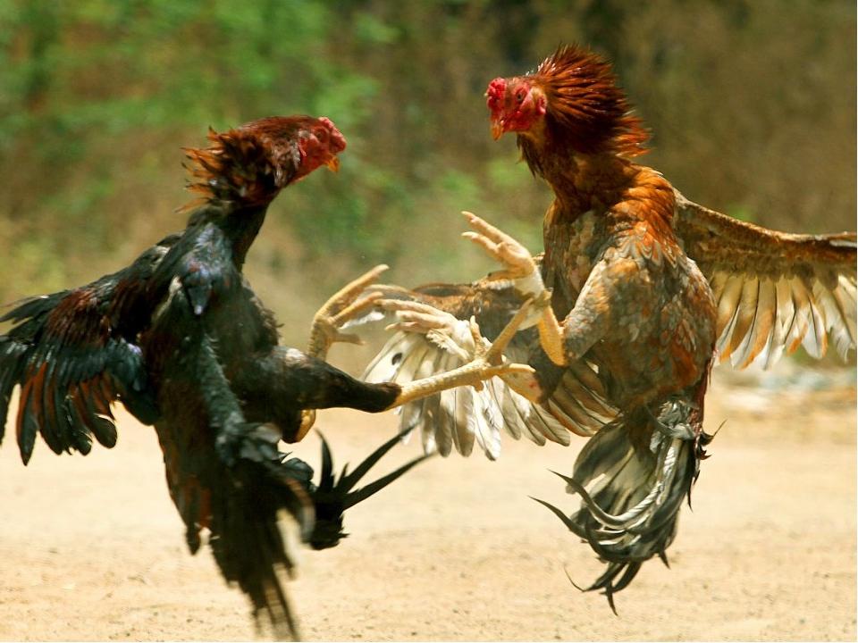 Вопрос для команды «Дятлы» Как называется встреча двух петухов? Петуший бой