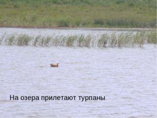 На озера прилетают турпаны