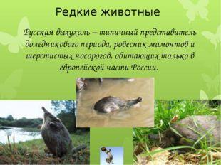 Редкие животные Русская выхухоль – типичный представитель доледникового пери