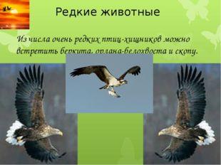 Редкие животные Из числа очень редких птиц-хищников можно встретить беркута,
