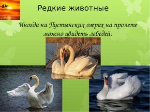Редкие животные Иногда на Пустынских озерах на пролете можно увидеть лебедей.