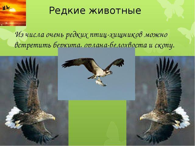 Редкие животные Из числа очень редких птиц-хищников можно встретить беркута,...