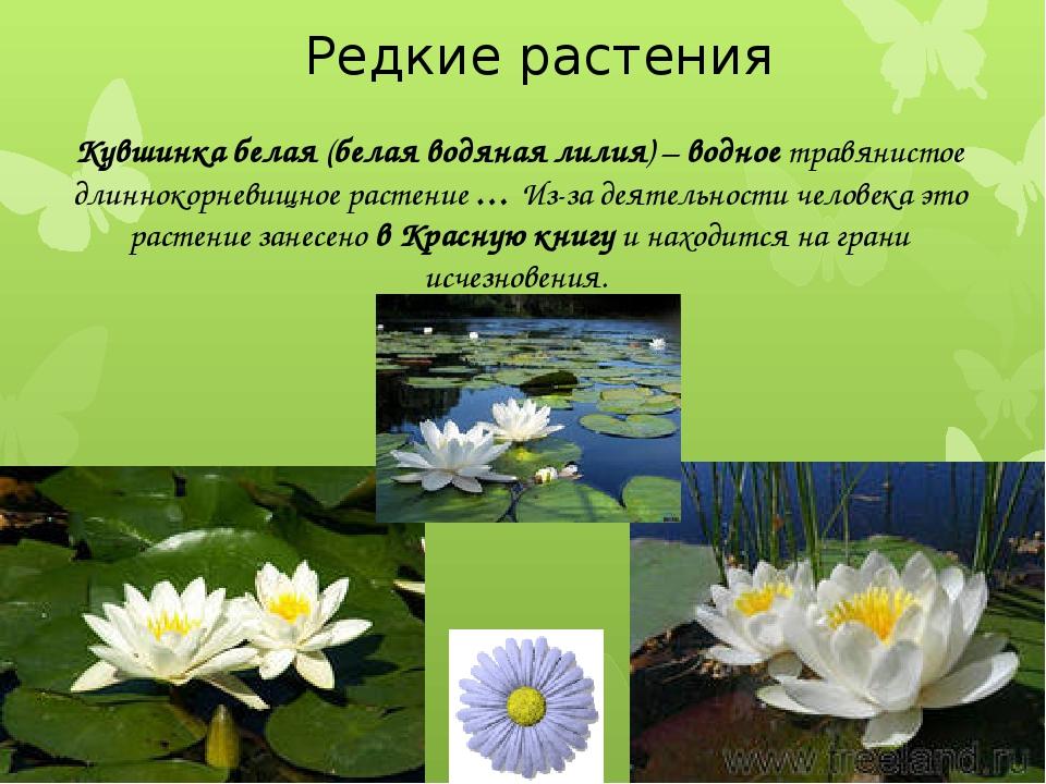 Редкие растения Кувшинка белая (белая водяная лилия) – водное травянистое дл...