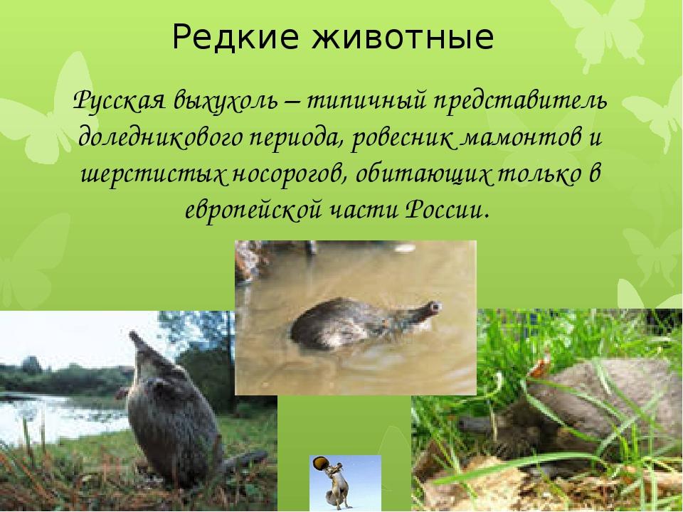 Редкие животные Русская выхухоль – типичный представитель доледникового пери...