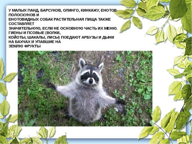 У МАЛЫХ ПАНД, БАРСУКОВ, ОЛИНГО, КИНКАЖУ, ЕНОТОВ-ПОЛОСКУНОВ И ЕНОТОВИДНЫХ СОБА...