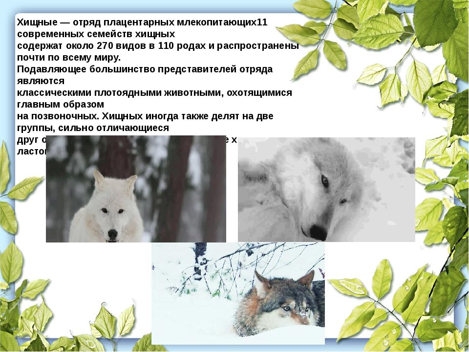 Хищные — отряд плацентарных млекопитающих11 современных семейств хищных содер...