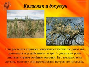 Колосняк и джузгун Эти растения корнями закрепляют пески, не дают им двигатьс