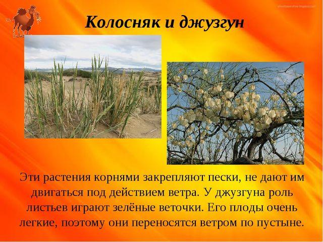 Колосняк и джузгун Эти растения корнями закрепляют пески, не дают им двигатьс...