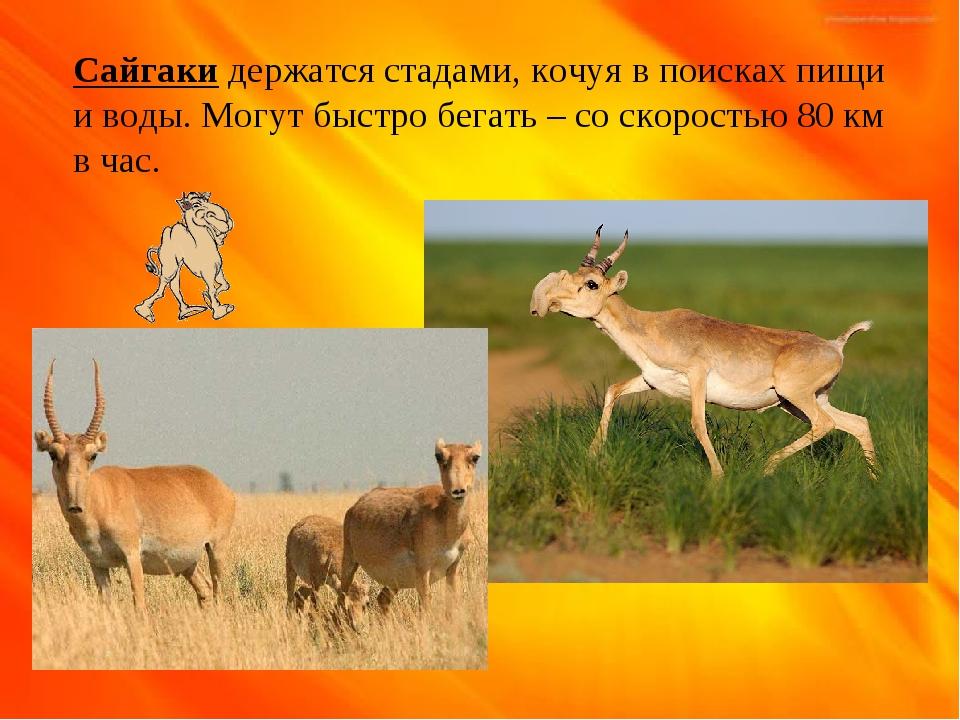 Сайгаки держатся стадами, кочуя в поисках пищи и воды. Могут быстро бегать –...