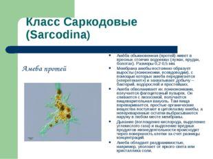 Класс Саркодовые (Sarcodina) Амеба протей Амёба обыкновенная (протей) живет в
