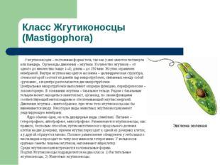 Класс Жгутиконосцы (Mastigophora) Эвглена зеленая У жгутиконосцев – постоянна