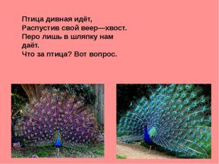 Птица дивная идёт, Распустив свой веер—хвост. Перо лишь в шляпку нам даёт. Ч
