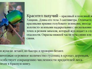 Красотел пахучий – красивый и полезный жук. Хищник. Длина его тела 3 сантиме