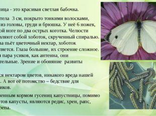 Капустница - это красивая светлая бабочка. Длина тела 3 см, покрыто тонкими