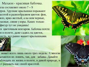 Длина тела составляет около 7 – 9 сантиметров. Хрупкие крылышки поражают сво