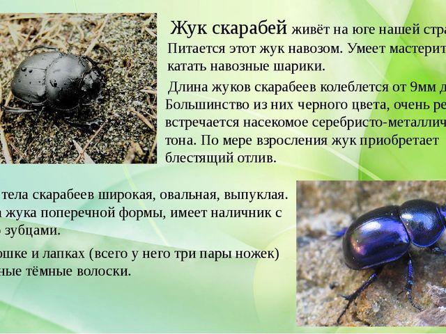 Длина жуков скарабеев колеблется от 9мм до 4см. Большинство из них черного ц...