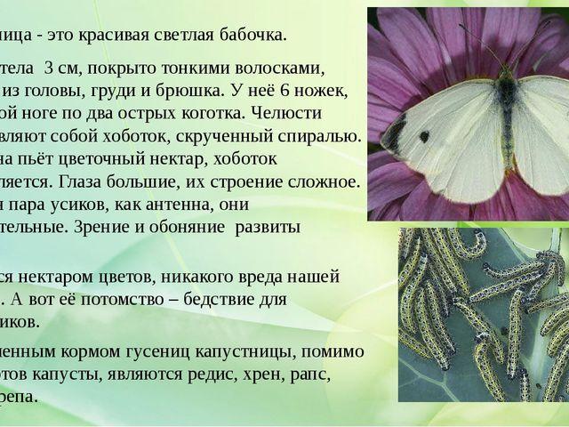 Капустница - это красивая светлая бабочка. Длина тела 3 см, покрыто тонкими...