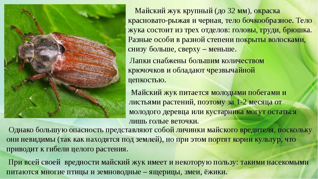 Майский жук крупный (до 32 мм), окраска красновато-рыжая и черная, тело бочк...