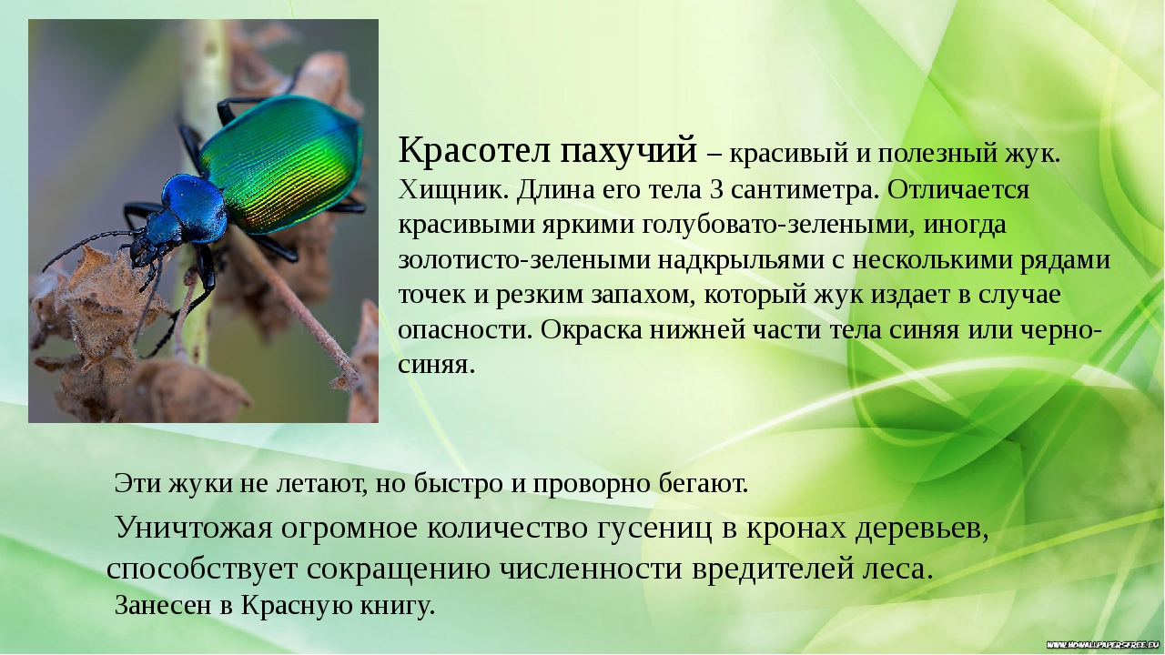 Красотел пахучий – красивый и полезный жук. Хищник. Длина его тела 3 сантиме...
