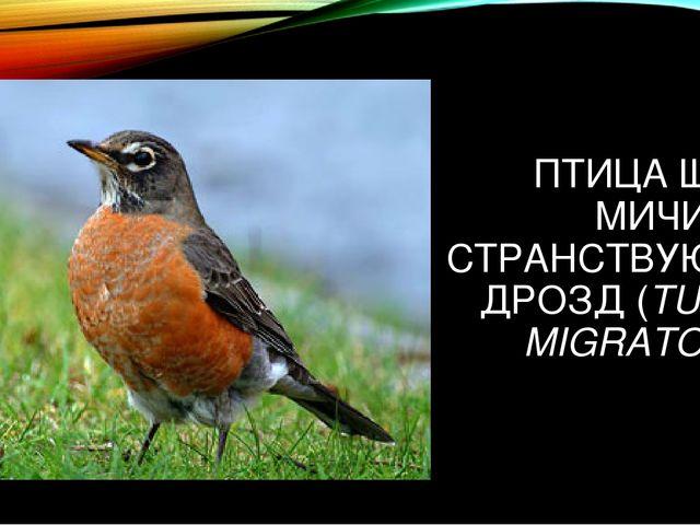 ПТИЦА ШТАТА МИЧИГАН - СТРАНСТВУЮЩИЙ ДРОЗД (TURDUS MIGRATORIUS)