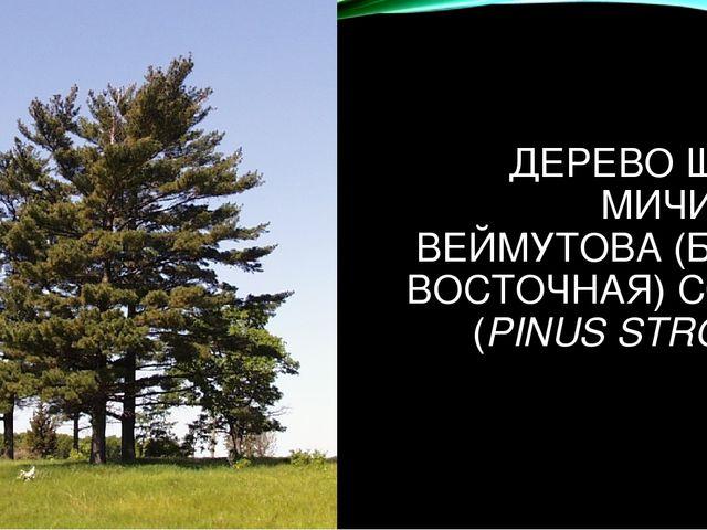 ДЕРЕВО ШТАТА МИЧИГАН - ВЕЙМУТОВА (БЕЛАЯ ВОСТОЧНАЯ) СОСНА (PINUS STROBUS)